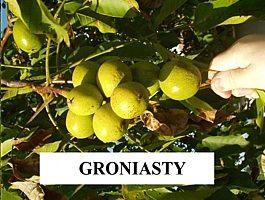 Orzech włoski groniasty