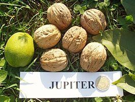 Orzech włoski jupiter
