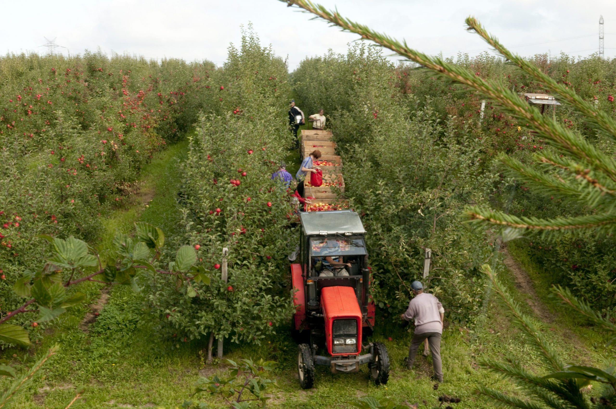 Zbiór jabłek w sadzie Dudek-Sad
